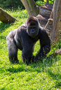 Gorilla alpha male of the western lowland Stock Photos