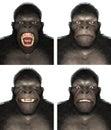 Gorilla Ape Face Expression Em...