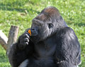 Gorilla breakfast Stock Photos