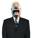 Gorilla Businessman Portrait, Suit and Tie, isolated Royalty Free Stock Photo