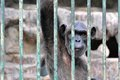 Gorilla in the Cage Stock Image