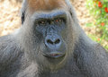 Gorilla close up female face with serious expression Stock Image