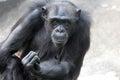 Gorilla close up portrait of a Stock Images