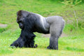 Gorilla constitute the eponymous genus the largest extant genus of primate by physical size they are ground dwelling Stock Photos