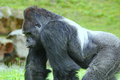 Gorilla constitute the eponymous genus the largest extant genus of primate by physical size they are ground dwelling Royalty Free Stock Photos
