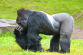 Gorilla constitute the eponymous genus the largest extant genus of primate by physical size they are ground dwelling Stock Photography