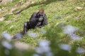 Gorilla eating grass scenic view of in zoo Royalty Free Stock Photos