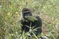 Gorilla in environment Stock Photography