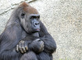 Gorilla female lowland sitting with arms folded Stock Image