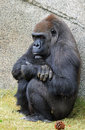 Gorilla female lowland sitting in grass with arms folded Stock Image