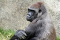 Gorilla female lowland sitting with pensive look Stock Photos