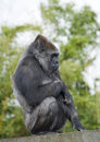 Gorilla Female Sitting Royalty Free Stock Images