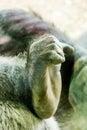 Gorilla Foot Royalty Free Stock Photo