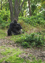 Gorilla in the Forest Stock Photos