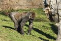 Gorilla gorilla big in the enclosure at the zoo Royalty Free Stock Photo