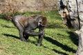 Gorilla gorilla big in the enclosure at the zoo Royalty Free Stock Photos