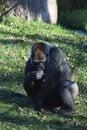 Gorilla gorilla big sitting in the grass big eats grass Stock Photo