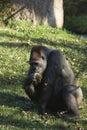 Gorilla gorilla big sitting in the grass big eats grass Royalty Free Stock Photos
