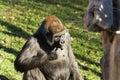 Gorilla gorilla big sitting in the grass big eats grass Stock Images