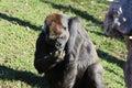 Gorilla gorilla big sitting in the grass big eats grass Stock Image