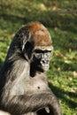 Gorilla gorilla portrait of a big Royalty Free Stock Images