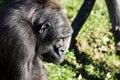 Gorilla gorilla portrait of a big Stock Photo