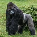 Gorilla in grass Royalty Free Stock Photo