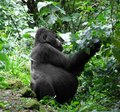 Gorilla in green vegetation Stock Image