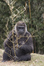 Gorilla holding nibbling on branch massive sitting and a tree while it Royalty Free Stock Photos