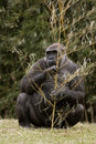 Gorilla holding tree branch massive sitting and a Royalty Free Stock Photo