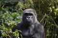 Gorilla in the Jungle Stock Image