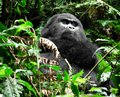 Gorilla in the jungle a mountain cloud forest of uganda africa Royalty Free Stock Photos