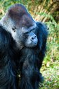 Gorilla male face portrait of a Royalty Free Stock Photo