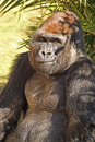 Gorilla male lowland face forward with smile Royalty Free Stock Photography
