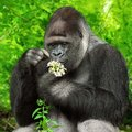 Gorilla observing a bunch of flowers large silverback gently holding little and them closely Royalty Free Stock Photos