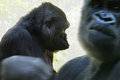 Gorilla paar a closeup of sitting female with a angry male moving up front Royalty Free Stock Image