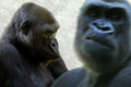 Gorilla paar a closeup of sitting female with a angry male moving up front Stock Photography