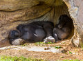 Gorilla pair a of gorillas escape the afternoon sun Stock Images