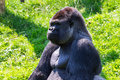 Gorilla portrait alpha male of the western lowland Royalty Free Stock Images