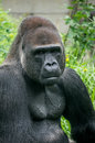 Gorilla portrait and body muscle of looking at camera in this picture can also see his Royalty Free Stock Photography