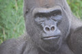 Gorilla portrait a close up picture of a male western lowland Stock Images