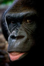 Gorilla portrait of a in a nature reserve Royalty Free Stock Photos