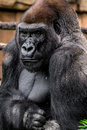 Gorilla primate big strong male close up image wildlife phtoography Stock Photography