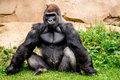 Gorilla primate big strong male sitting in the grass Stock Image