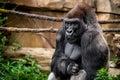 Gorilla primate Royalty Free Stock Photo