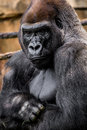 Gorilla primate big strong male sitting in the grass close up image wildlife phtoography Stock Photos