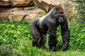 Gorilla primate big strong male walking in the grass in his habitat Stock Photo