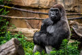 Gorilla primate close up in natural habitat big strong male sitting the grass image wildlife phtoography Royalty Free Stock Photos