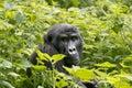 Gorilla In Jungle Of Uganda