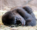 Gorilla at Rest Royalty Free Stock Photos